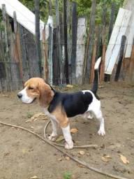 Beagle reprodutor registrado