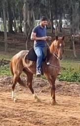Cavalo QM castrado