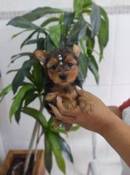 Yorkshire Terrier - A alegria da sua família agora mais próximo de você