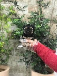 Yorkshire Terrier c/ total supor veter. c/ vacina + pedigree e assis veterinaria