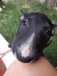 Bull Terrier Inglês Filhote