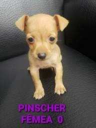 Pinscher várias cores disponíveis venha conferir