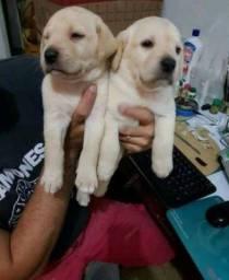 Título do anúncio: Filhotes de labrador macho e fêmea amarelos lindos