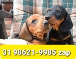 Título do anúncio: Canil Filhotes Diferenciados Cães BH Basset Yorkshire Lhasa Maltês Shihtzu Beagle Poodle