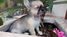 Chihuahua com Pedigree