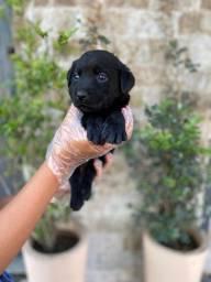 Labrador Retriever filhotes, unica loja com 12 clinicas