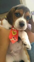 """Beagle 13"""" Filhotes Pedigree & Garantia!!!"""