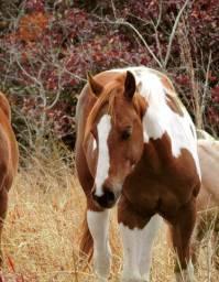 Potra Paint Horse registrada
