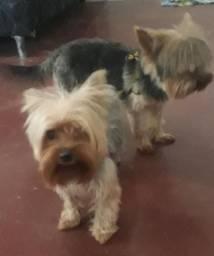 Vendo casal de yorkshire terrier
