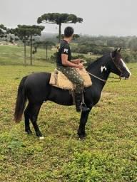 Caval Crioulo CUIUDO com documento 2 anos domado/manso