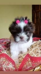 Lhasa Apso com pedigree esperando um dono