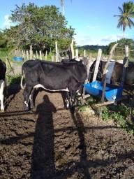 2 vacas Girolando