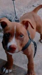 Filhote de Pitbull Red Nose