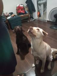 Filhotes de Labrador Retriever chocolate