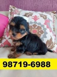 Canil Perfeitos Filhotes Cães BH Yorkshire Maltês Shihtzu Lhasa Poodle Beagle Basset