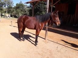 Cavalo quarto de milha  2 anos e meio