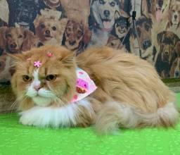 Lindíssima Gatinha Persa fêmea com 2 anos
