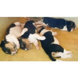 Beagles de ótima linhagem