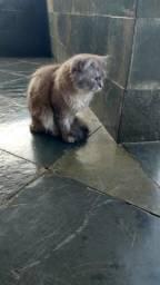 Doação Gato Siamês - Macho