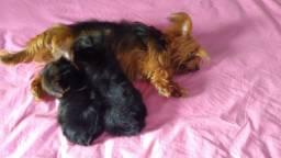 Lindos bebê femia yorkschire duas linda a procura de um lar