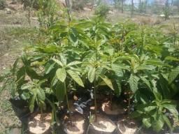 Mudas de plantas vários preços