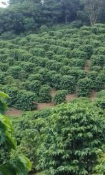 Vendo fazenda 21 hectares com cafés plantados produzindo,duas casas