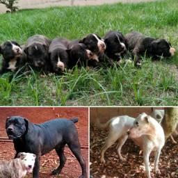 Filhotes de Cane Corso com Dogo Argentino