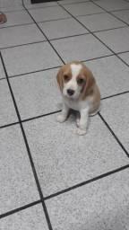 Vendo Beagle bicolor fêmea