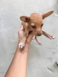Cachorro pinscher. Fêmea