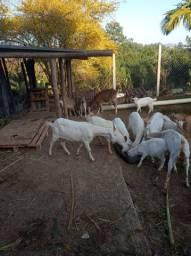 Temos cabras sanaem Nambi é bode anglonubiano reprodutor