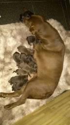 Reserva de filhote de Labrador