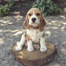 Beagle tricolor, raça pura. Com garantia de saúde e pedigree