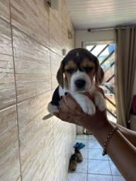 Belos filhotes de Beagle 13 polegadadas