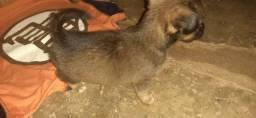 Cachorra fêmea