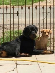 Doa-se hotwailer pra quem realmente cuida cachorro bem cuidado