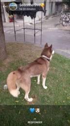 Husky Siberiano           ?PARA CRUZAR?
