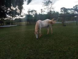 Título do anúncio: vendo égua muito mansa pra criança andar e lida