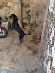 Procura-se cadela para acasalar rottweiler puro cabeça de touro !!
