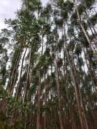 Fazenda 125Ha sendo 75Ha Eucalipto com 11 anos (29.000 M³ de madeira)
