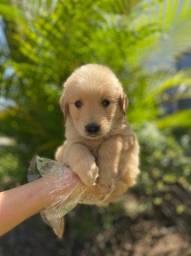 Golden Retriever filhotinho lindo $$