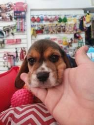 Filhotes incríveis  beagle tricolor  e no gold dog