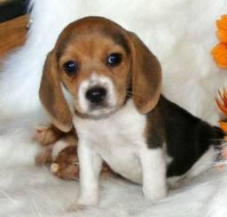 Título do anúncio: Beagle filhote de alto padrão