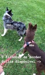 Filhotes da raça mais inteligente do mundo, cães Border Collie, ótima genética