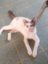Título do anúncio: Gato macho castrado