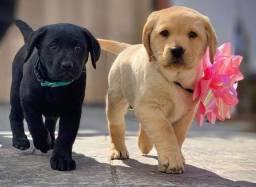 Filhotes de Labrador Belíssimos