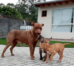Filhotes American Pit Bull Terrier BARBADA
