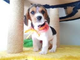 Beagle Lindos Filhotes 53 dias Femeas