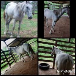 Vendo cavalo mestiço campolino manso