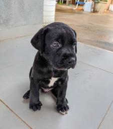 Vende-se Filhotes Labrador
