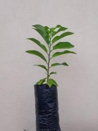 Fruta Do Conde/pinha /ata - 1 Muda Livre De Agrotóxicos